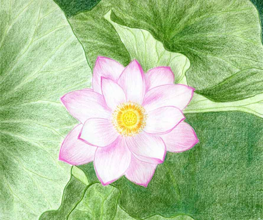 Finally in order to make your lotus flower drawings complete and