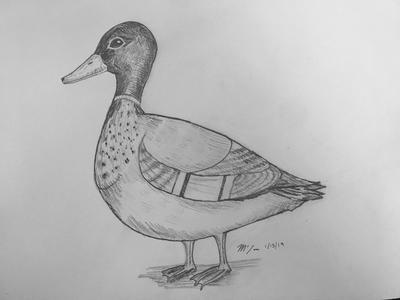 Male Duck
