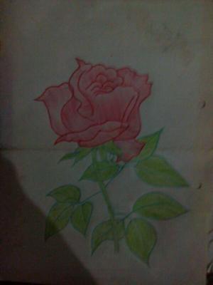 beatiful rose