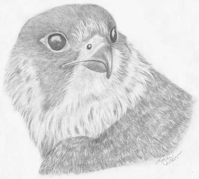 Falcon drawing
