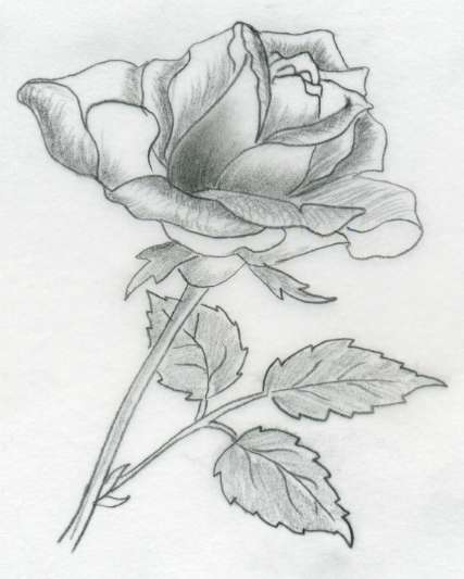 Various Rose Drawings