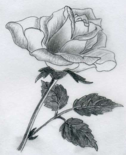 Various Rose Drawings  Various Rose Dr...