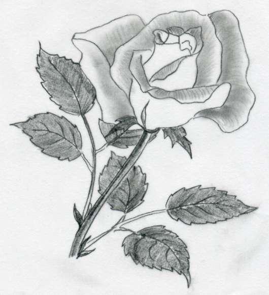 Various rose drawings for Cool rose drawings
