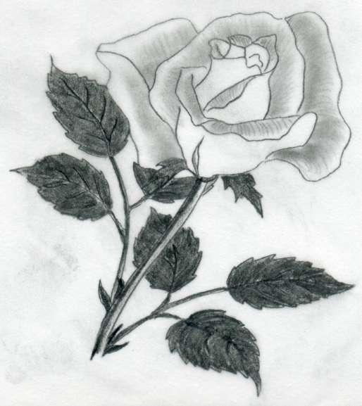 various rose drawings