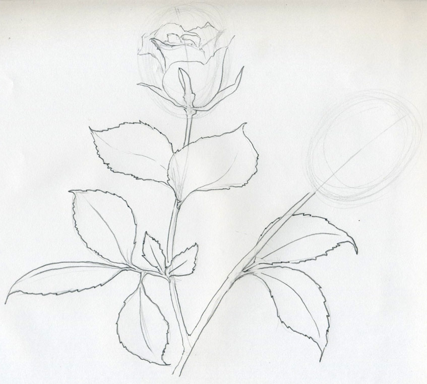 rose flower sketch. Rose Sketch