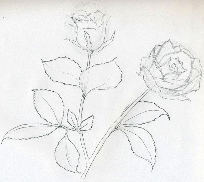 Easy Sketch Roses Drawings
