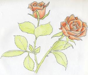 Как нарисовать розу в несколько простых и понятных шагов