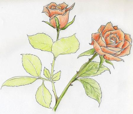Простой эскиз розы
