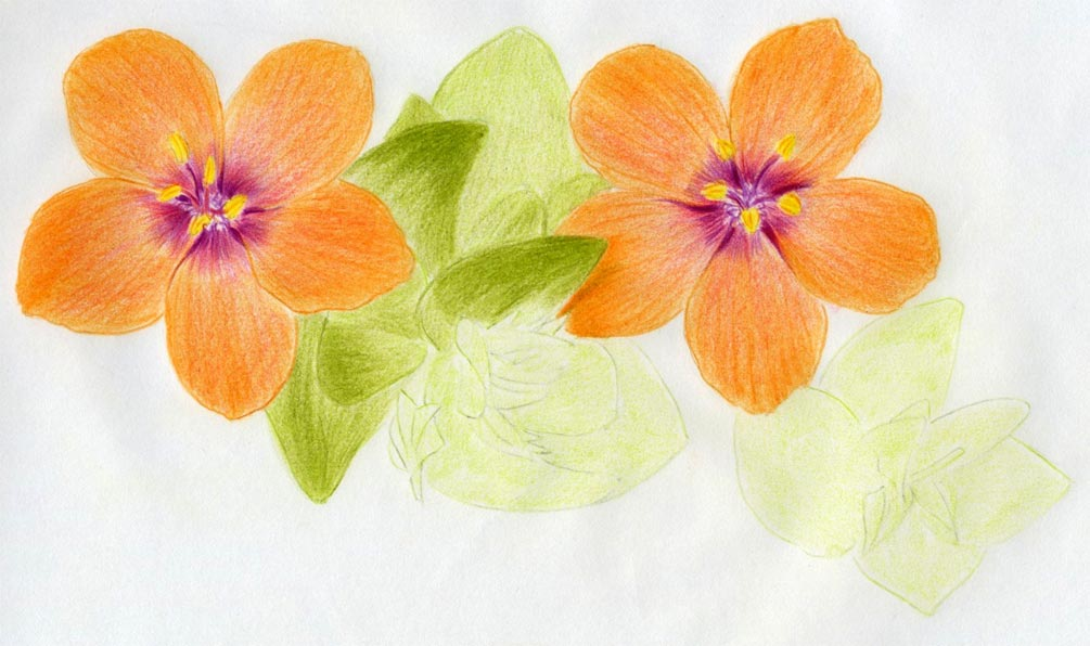 how to draw flowers of asia in colour pencil