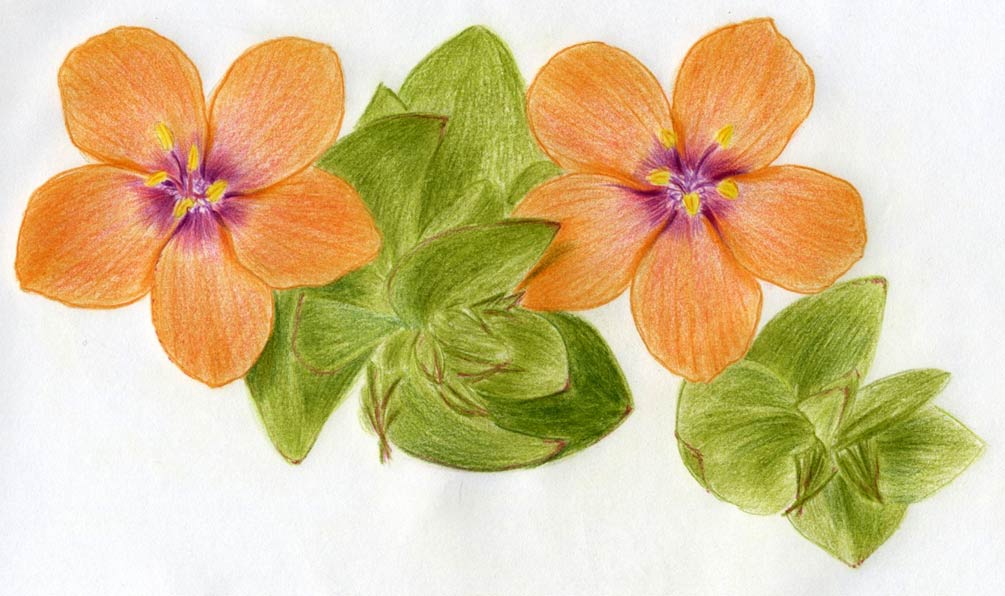 How To Draw Scarlet Pimpernel Flower