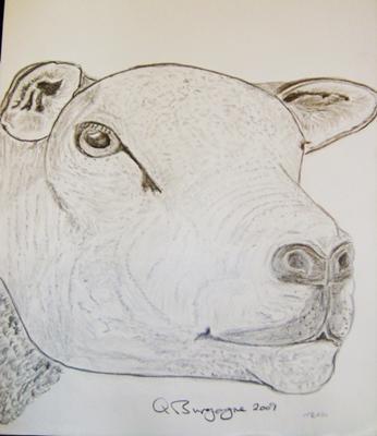 Texel Sheep - head study