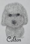 Colton - Poodle