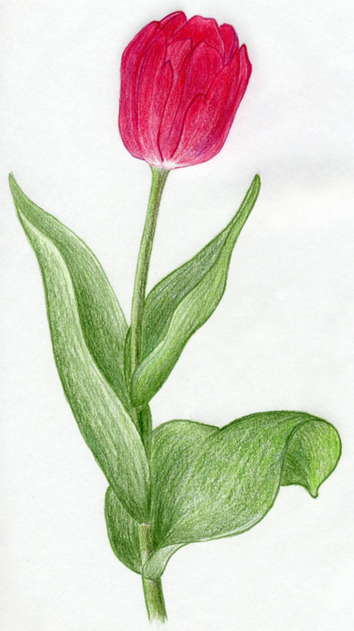do you love drawing tulip flowers