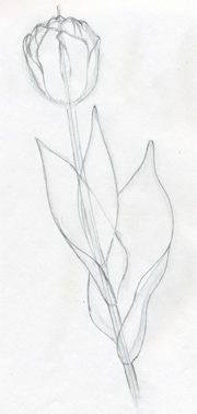 Tulip Drawing Simple