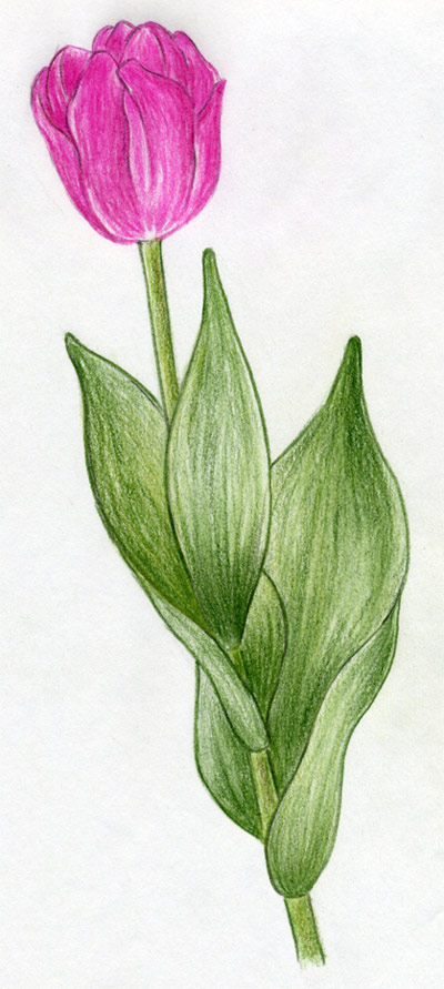 draw tulip flowers in few easy steps