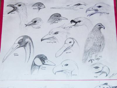 bird head studies