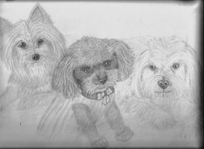 Yorkie, Poodle, Maltese trio
